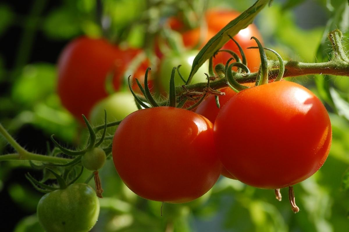 Особенности ухода за помидорами в грунте и теплице летом