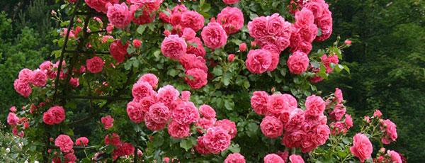 Плетистые розы: волшебная песня сада. Посадка, выращивание и уход