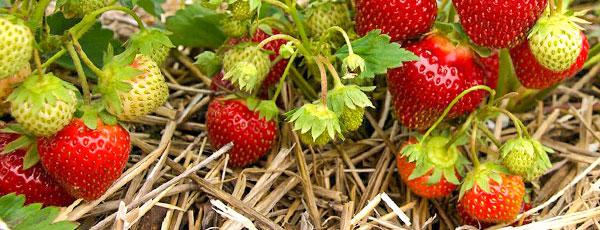 Подкормка клубники для щедрого урожая