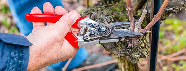 Правильная обрезка винограда весной