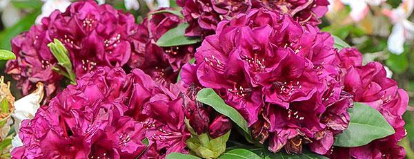 Рододендрон весной: посадка, уход для пышного цветения