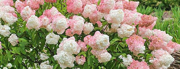 Розовая гортензия зацвела белым - что делать?