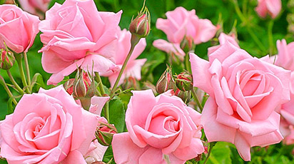 Розы почернели после зимы. Что делать?