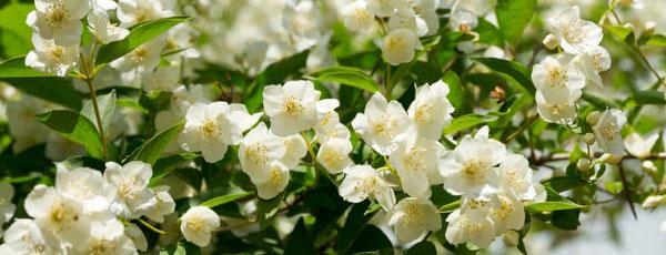 Садовый жасмин (чубушник): ароматное облако в саду