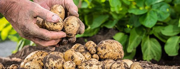 Секреты хорошего урожая: выращиваем картофель правильно