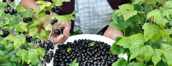 Удобряем кустарники: календарь подкормок ягодных культур