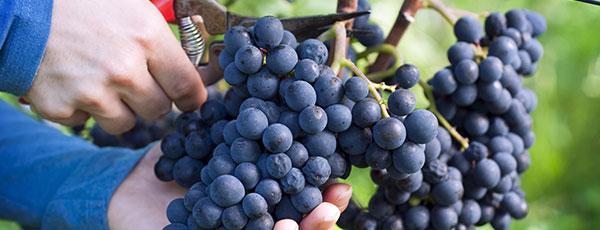 Виноград для начинающих: что нужно знать о посадке и уходе