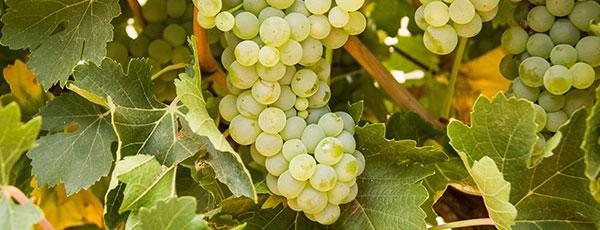 Виноград на даче: правильная посадка и уход