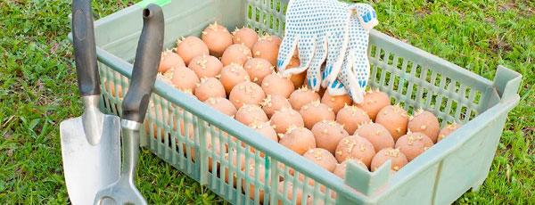 Зачем нужна яровизация картофеля и как ее проводить