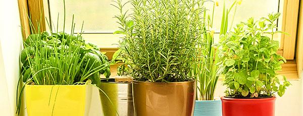 Зелень на подоконнике: сажаем душистый мини-огородик
