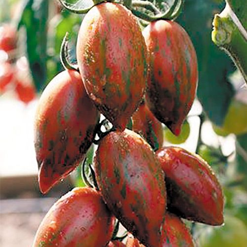 Томат  Шоколадка F1, семена изображение 1 артикул 5947