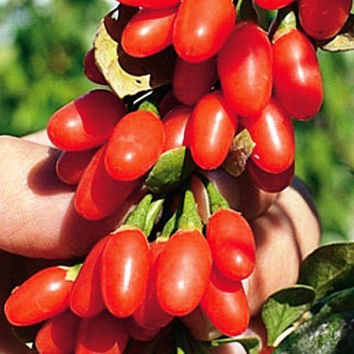 Ягоды Годжи, семена изображение 1 артикул 5966