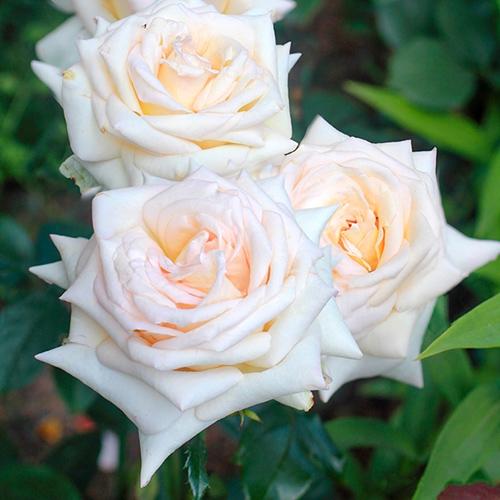 Роза чайно-гибридная Ванилла Парфюм