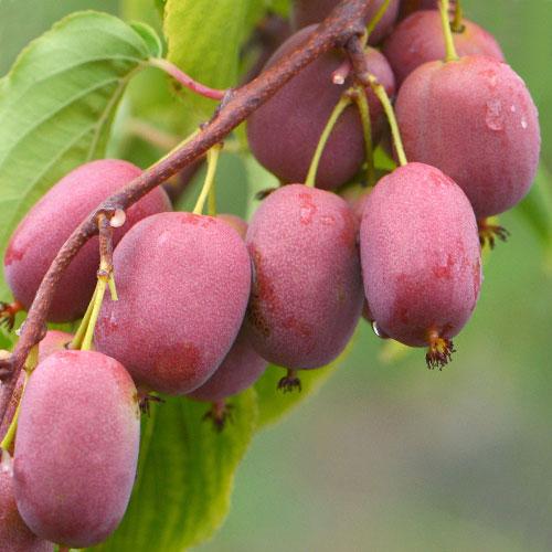 Мини-киви (актинидия) Пурпурная садовая изображение 1 артикул 9315