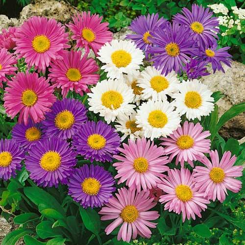 Астра Радуга, смесь окрасок, плазменные семена изображение 1 артикул 58028