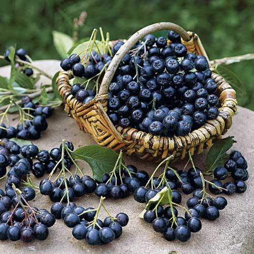 Арония черноплодная Блэк Перл изображение 1 артикул 9204