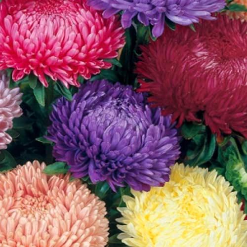 Астра Тауэр Розовый сон, смесь окрасок изображение 1 артикул 71416