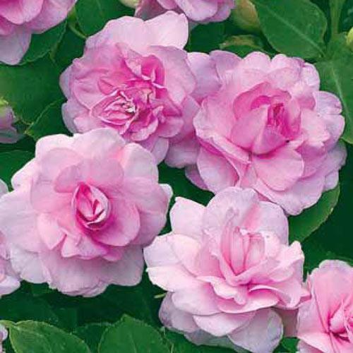 Бальзамин Уоллера F1 Искушение светло-розовое, семена изображение 1 артикул 19.3065Г