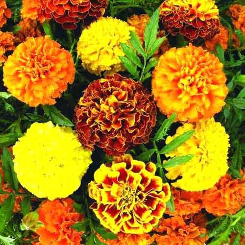 Бархатцы Бонита, смесь окрасок изображение 1 артикул 66017