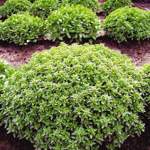 Базилик Гвоздичный аромат изображение 1 артикул 83141