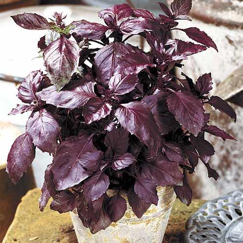 Базилик Карлик фиолетовый изображение 1 артикул 65921