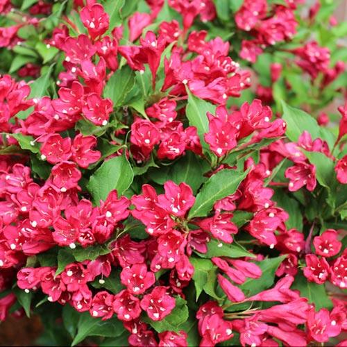 Вейгела Ньюпорт Ред изображение 1 артикул 9194