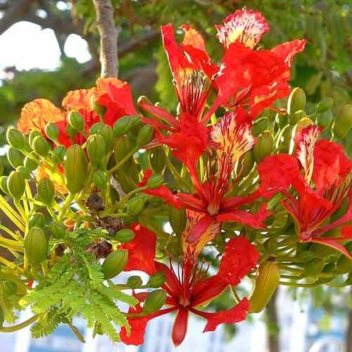 Делоникс королевский Огненный зонтик, семена изображение 1 артикул 65951