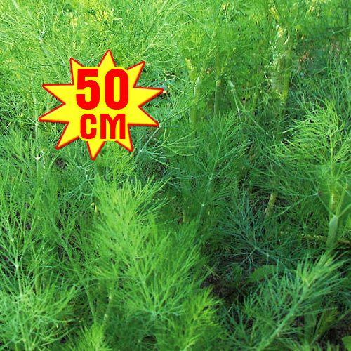 Укроп РР, семена изображение 2 артикул 7711