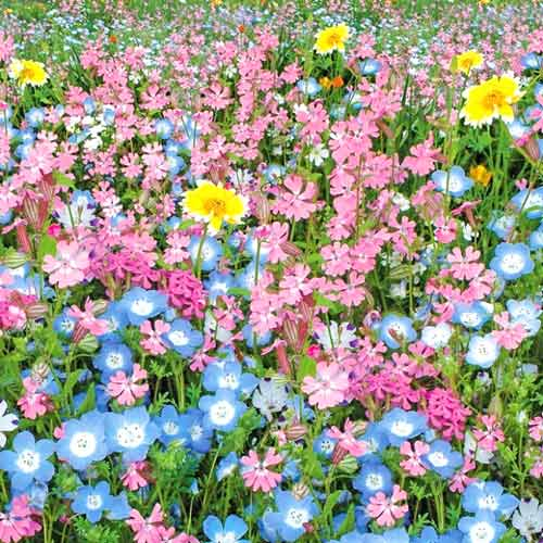 Газон цветущий Цветущий город, смесь окрасок изображение 1 артикул 69871