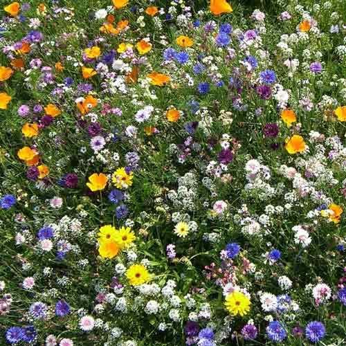 Газон цветущий Солнце Флоренции, смесь окрасок изображение 1 артикул 69870