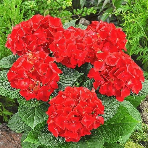 Гортензия крупнолистная Огненная красота изображение 1 артикул 9126