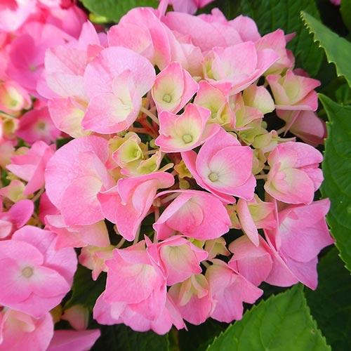 Гортензия крупнолистная Розита изображение 1 артикул 01052