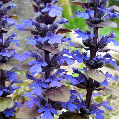 Живучка Чоколат Чип изображение 2 артикул 01343