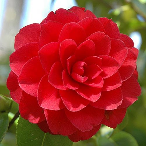 Камелия японская Ред