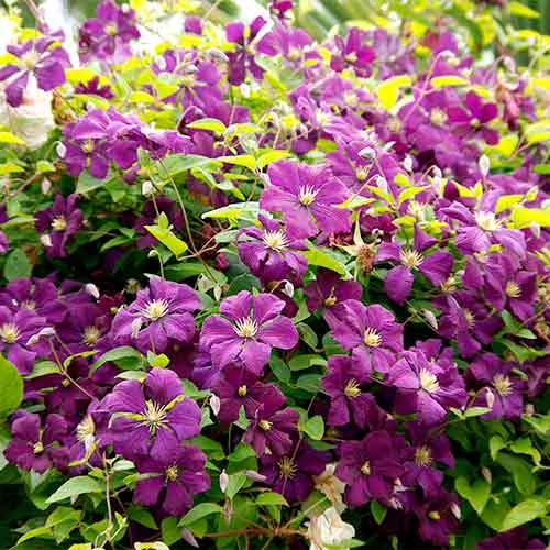 Клематис Этуаль Виолетт изображение 1 артикул 9062