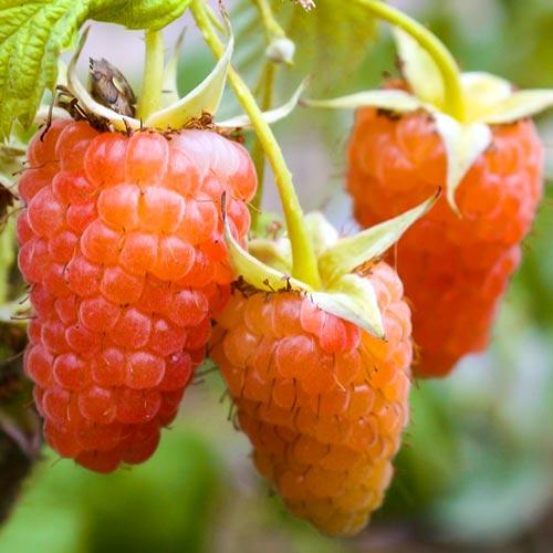 Малина крупноплодная Оранжевый гигант