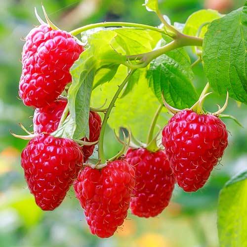Малина Сладкая ягодка изображение 1 артикул 65253