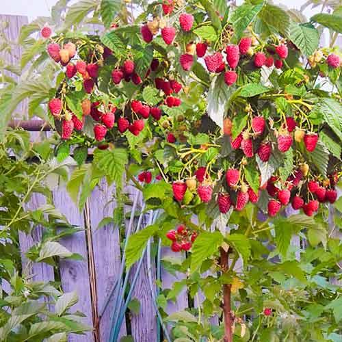 Малиновое дерево Крепыш изображение 2 артикул 7558