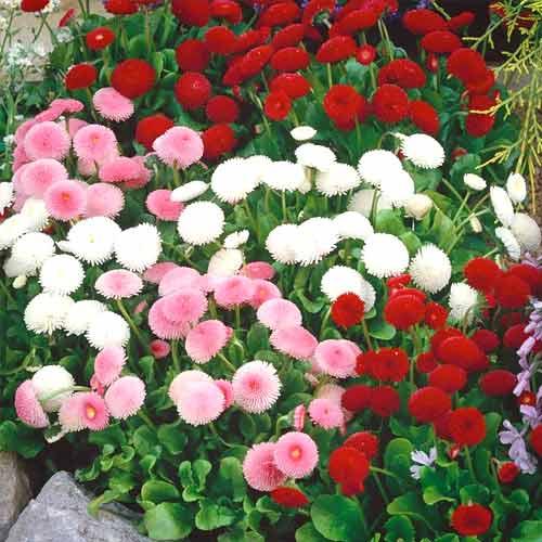 Маргаритка Весна заснеженная изображение 1 артикул 66097