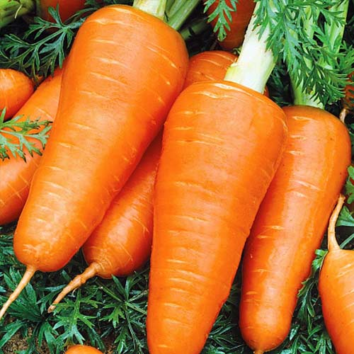 Морковь Шантанэ сибирская изображение 1 артикул 74186