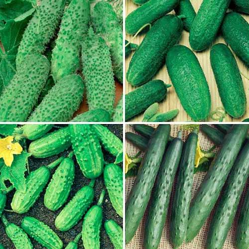 Набор гибридов огурца для открытого грунта, смесь семян изображение 1 артикул 74191