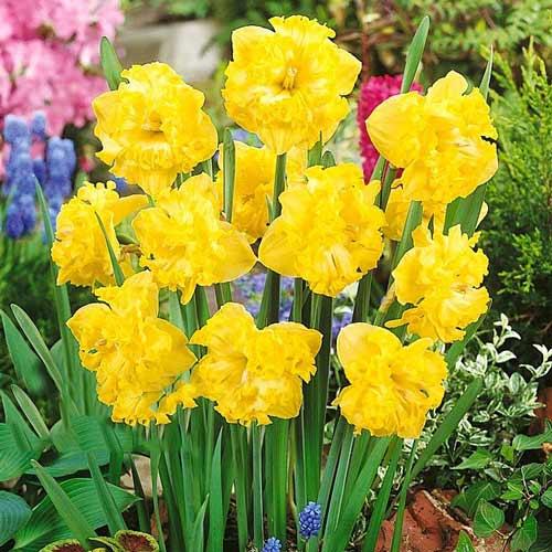 Нарцисс сплит-корона Флайер изображение 1 артикул 67433
