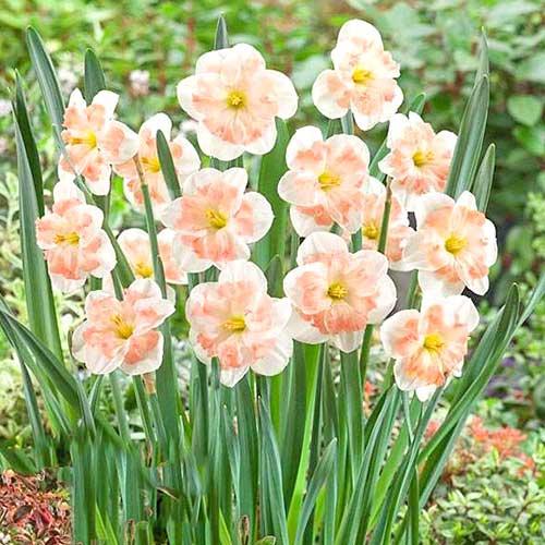 Нарцисс сплит-корона Пинк Вандер изображение 1 артикул 67434
