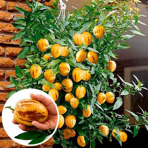 Пепино (дынная груша) Консуэло изображение 1 артикул 65256
