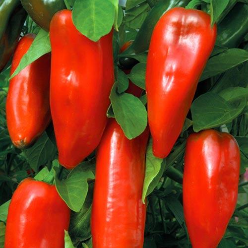 Перец сладкий Бизон красный изображение 1 артикул 65042