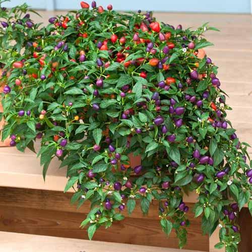 Перец кустарниковый Локо F1, семена изображение 1 артикул 65283
