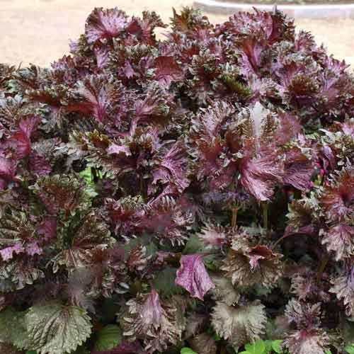 Перилла кустарниковая Пурпурная изображение 2 артикул 71500