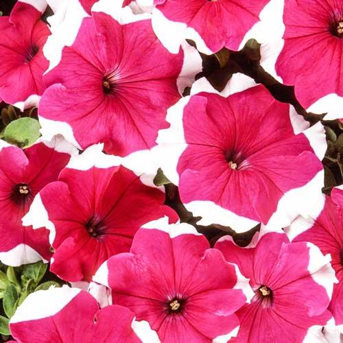 Петуния Хулахуп розовая F1 изображение 1 артикул 71523