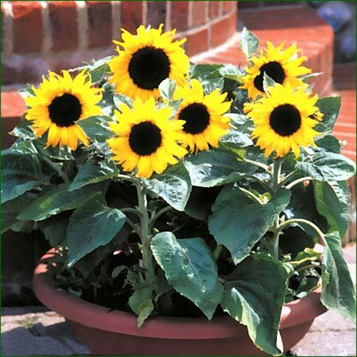 Подсолнечник Солнечный зайчик, семена изображение 1 артикул 80462С