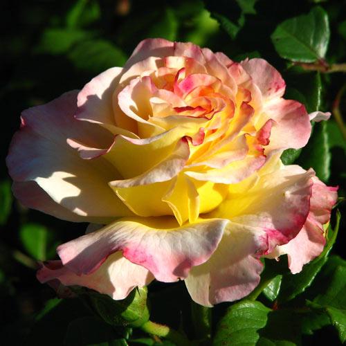 Роза чайно-гибридная Акварель изображение 1 артикул 2801